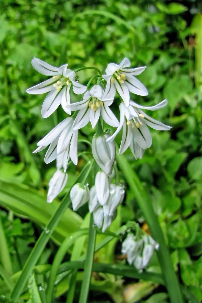 Allium triquetrum-rq-20140314-1f.jpg