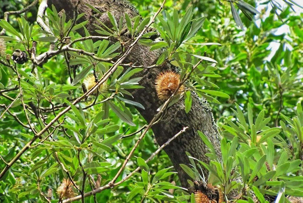 Banksia integrifolia-rq-20140312-1d.jpg