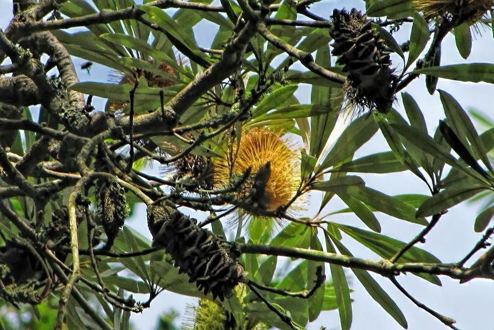 Banksia integrifolia-rq-20140312-1m.jpg