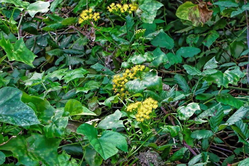 Delairea odorata-rq-20140108-1a.jpg