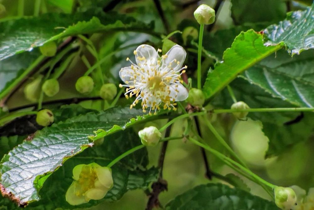 Campomanesia reitziana-rq-20140316-1m.jpg