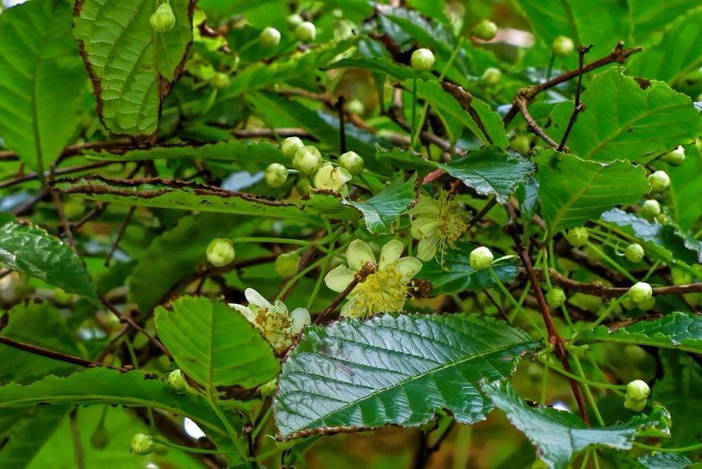 Campomanesia reitziana-rq-20140316-1g.jpg