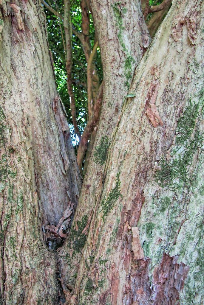 Campomanesia reitziana-rq-20130914-1m.jpg