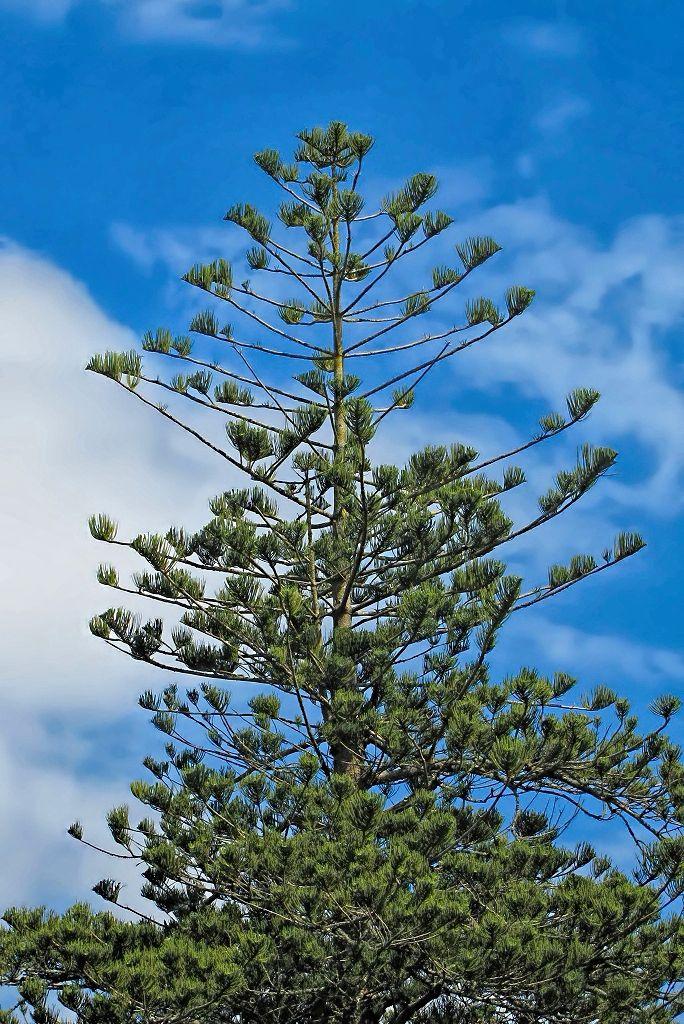 Araucaria heterophylla-rq-20140316-3a.jpg