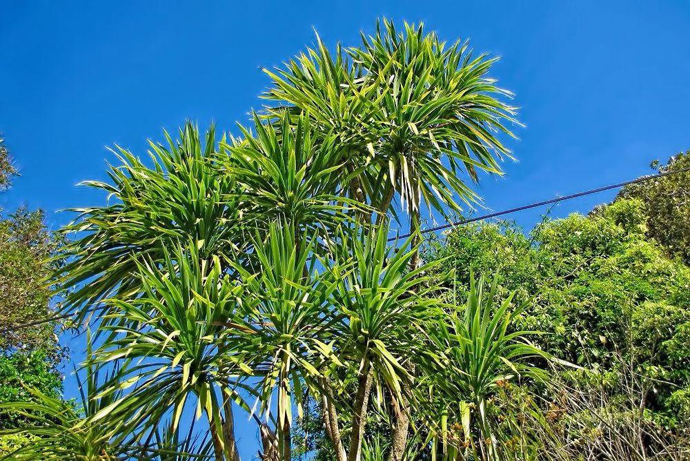 Cordyline australis-rq-20140317-1j.jpg