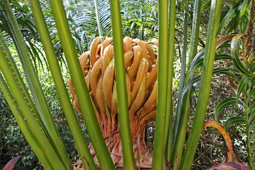 Cycas circinalis-rq-20140316-2a.jpg