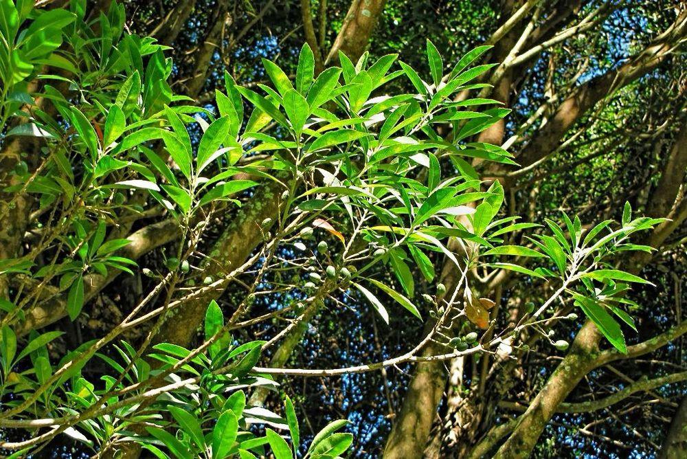 Elaeocarpus decipiens-rq-20140108-1b.jpg
