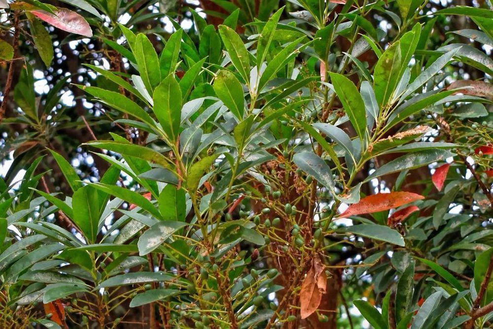 Elaeocarpus decipiens-rq-20130914-3b.jpg