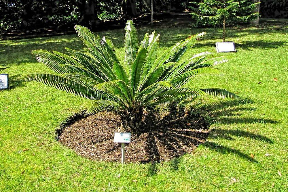 Encephalartos villosus-rq-20140316-1b.jpg