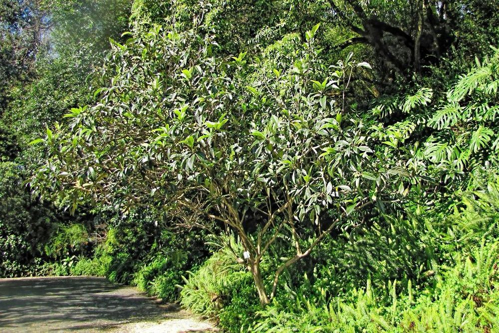 Eriobotrya japonica-rq-20140314-1k.jpg