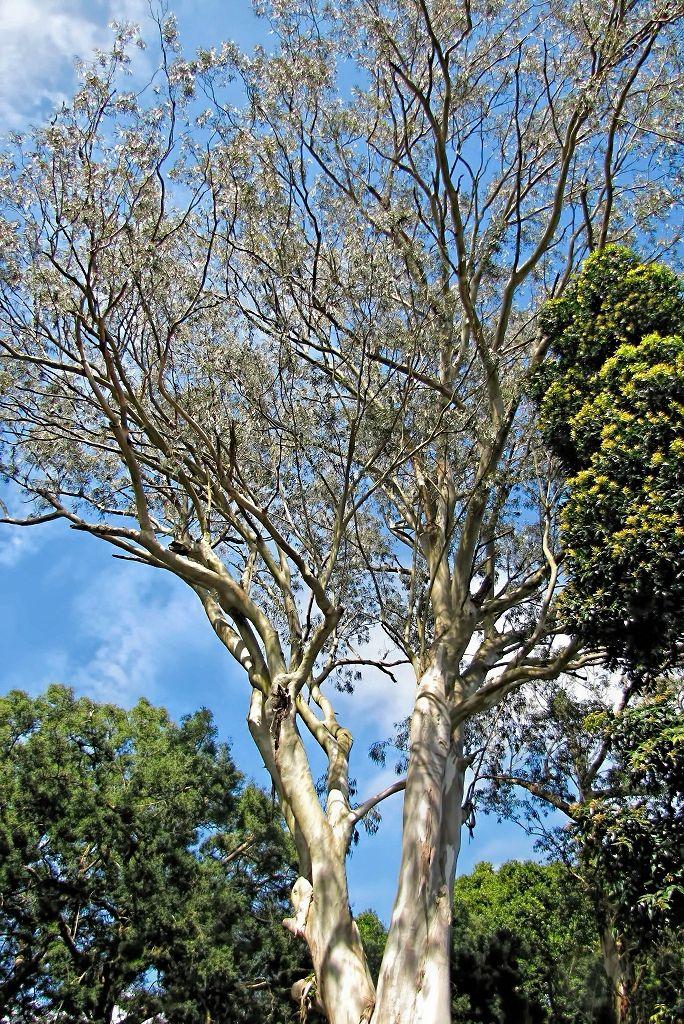 Eucalyptus camaldulensis-rq-20140312-1c.jpg