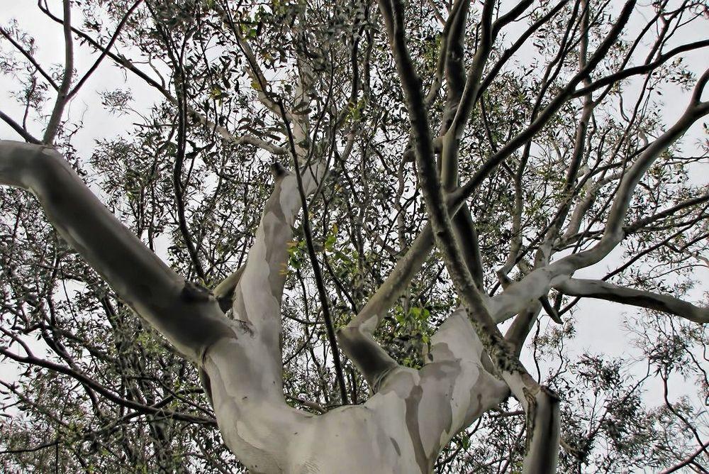 Eucalyptus camaldulensis-rq-20140316-1i.jpg