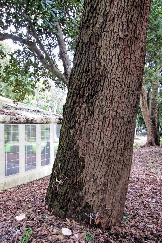 Eucalyptus robusta-rq-20140316-1g.jpg