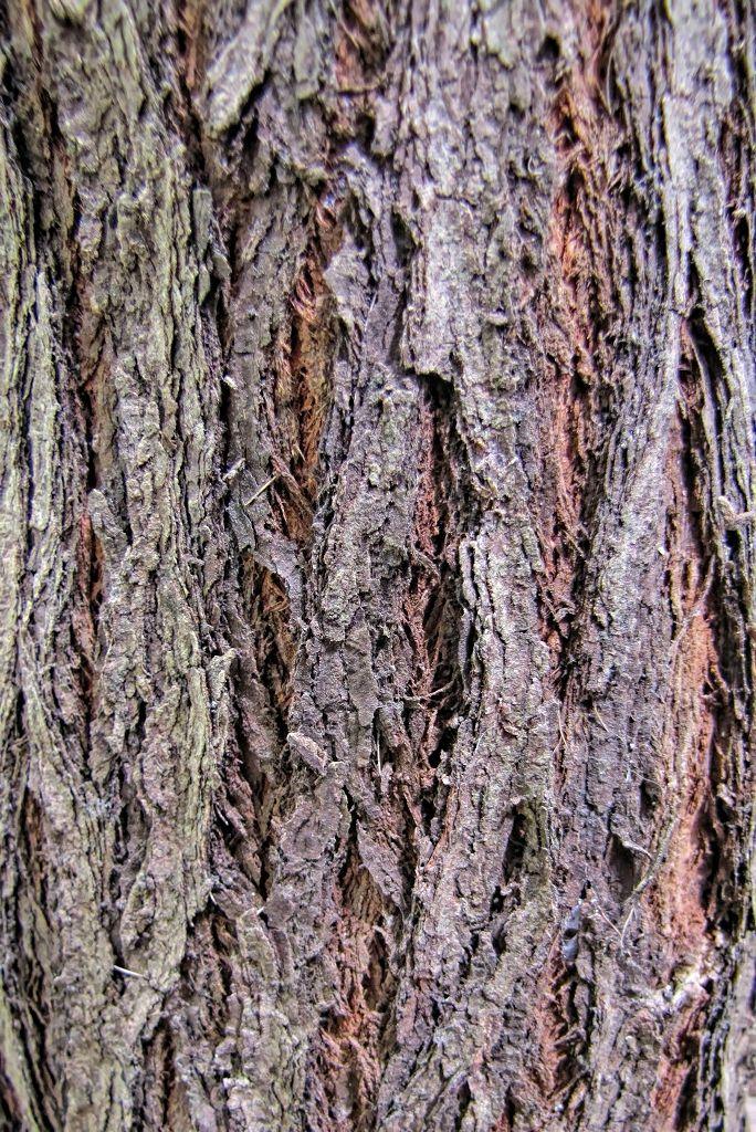 Eucalyptus sideroxylon-rq-20140312-1e.jpg