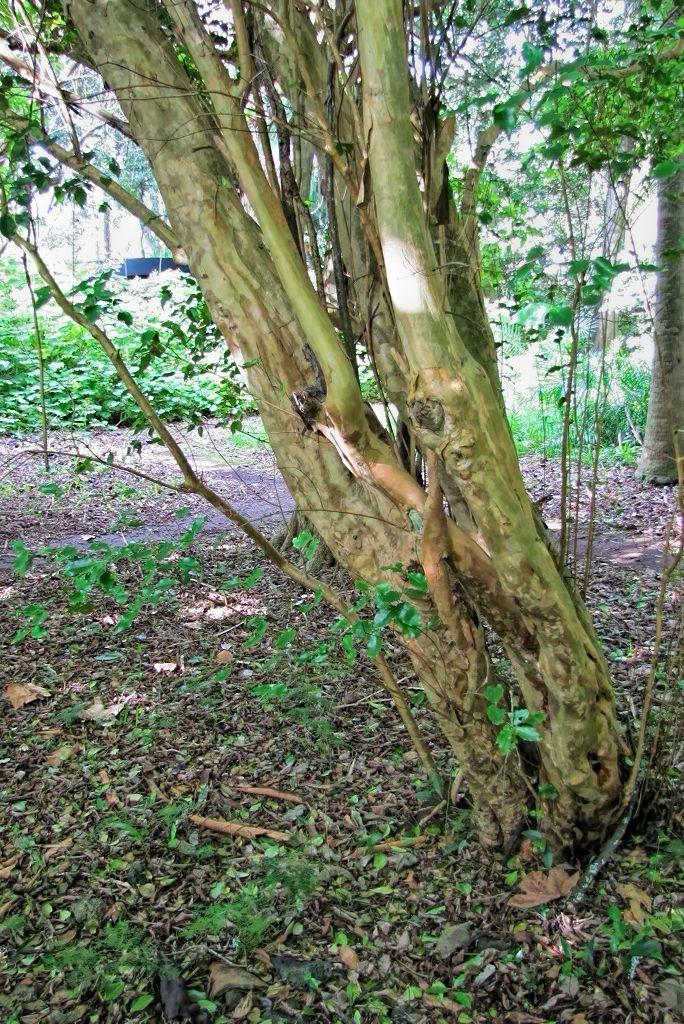 Eugenia uniflora-rq-20140113-1b.jpg