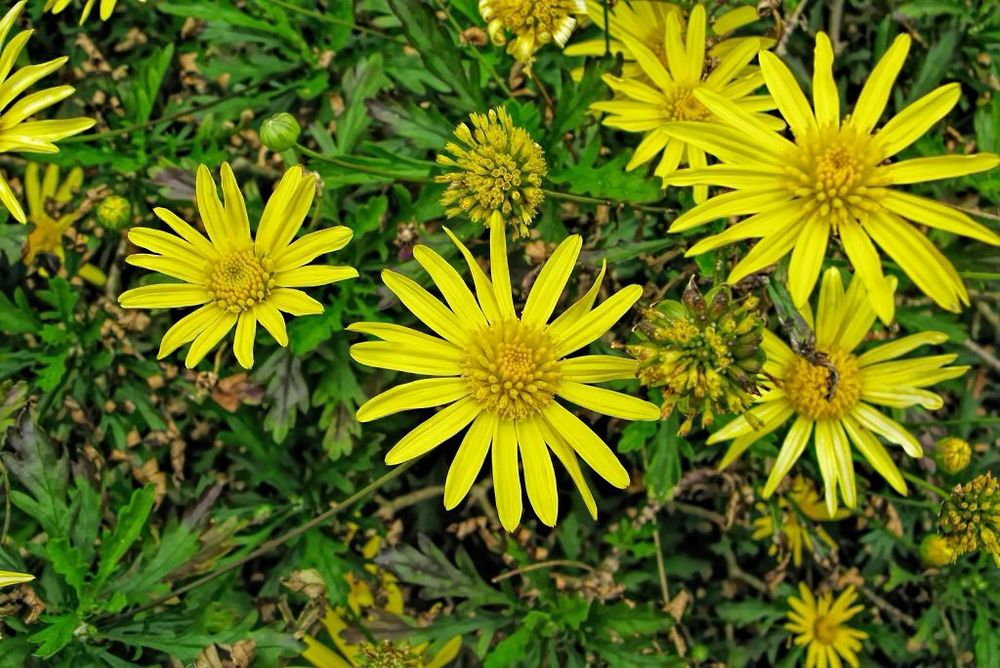 Euryops chrysantemoides-rq-20100408-1g.jpg