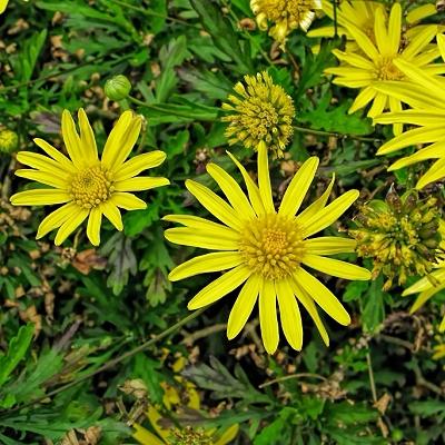 Euryops chrysantemoides