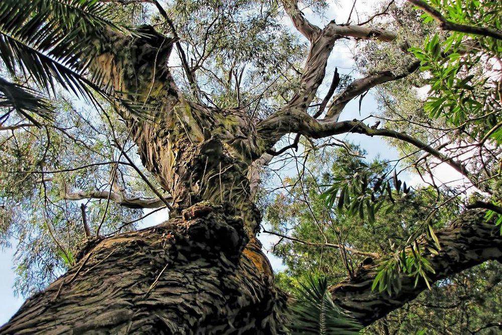 Eucalyptus delegatensis-rq-20130914-1f.jpg