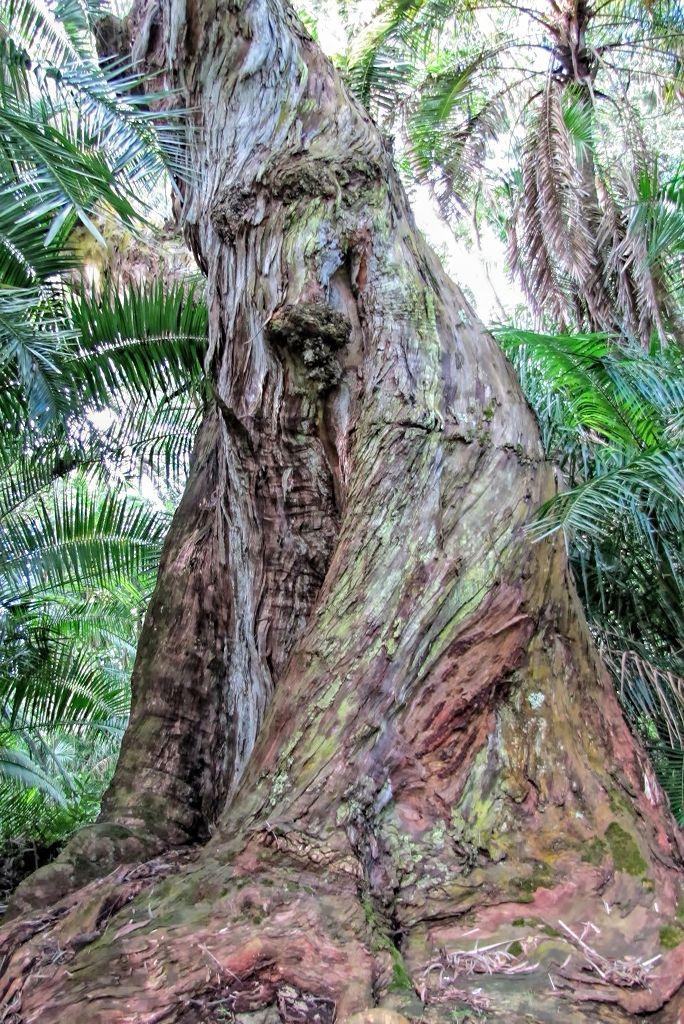 Eucalyptus delegatensis-rq-20140113-1a.jpg