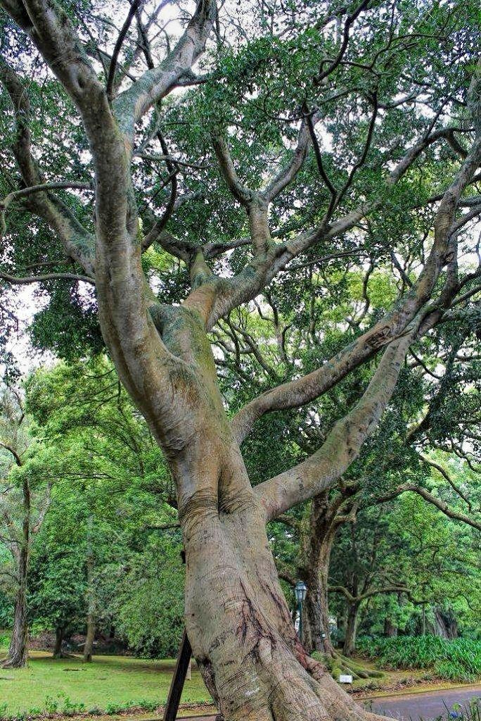 Ficus benjamina var nuda-rq-20140429-1e.jpg