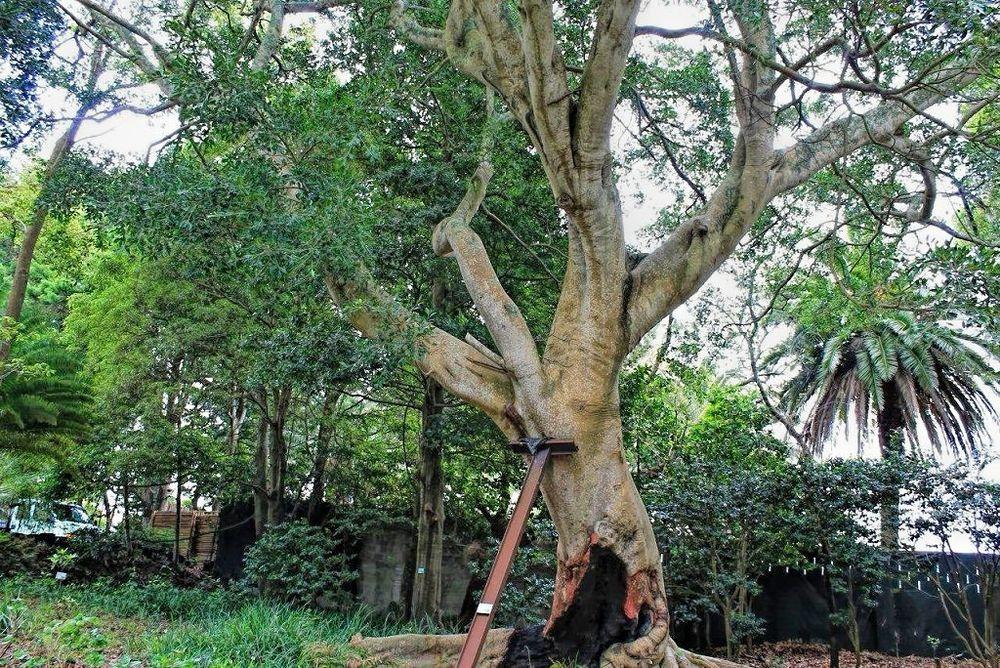 Ficus benjamina var nuda-rq-20140429-1b.jpg