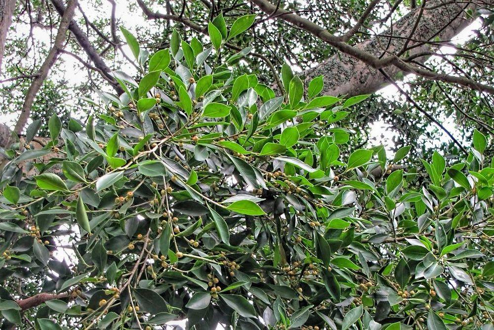 Ficus benjamina var nuda-rq-20130914-1d.jpg