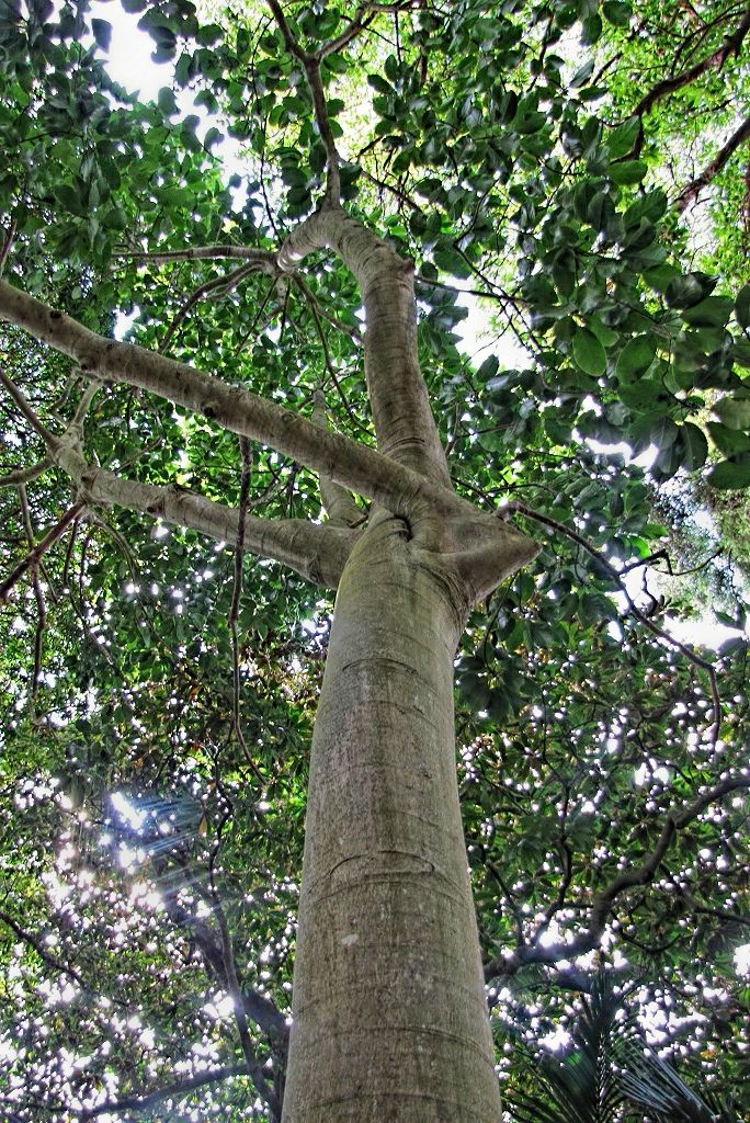 Ficus callosa-rq-20130914-1j.jpg