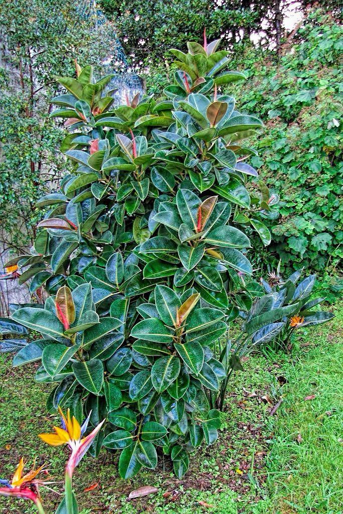 Ficus elastica-rq-20140108-1a.jpg