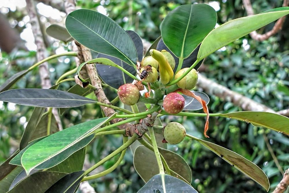 Ficus macrophylla-rq-20130915-7g.jpg