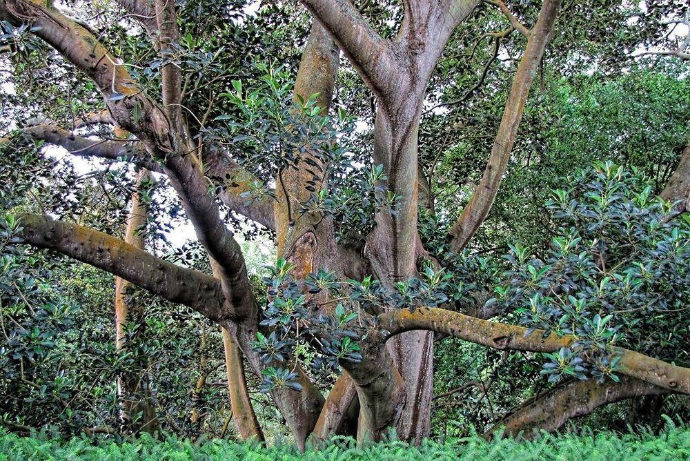 Ficus macrophylla-rq-20130914-1v.jpg