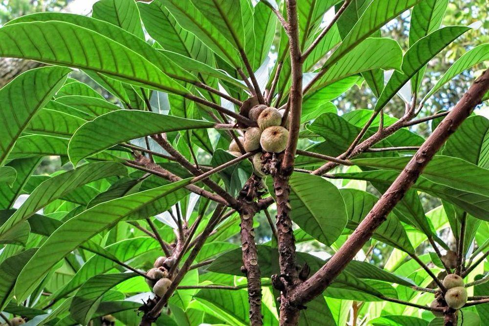 Ficus saussureana-rq-20140113-1c.jpg