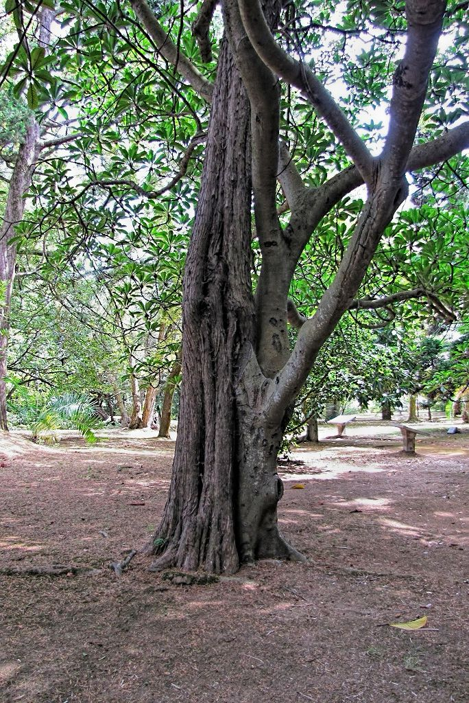 Ficus saussureana-rq-20130914-1a.jpg