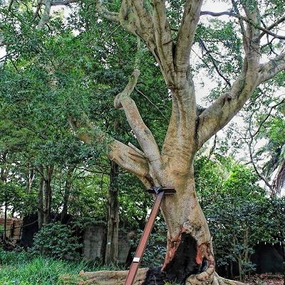 Ficus benjamina  var.  nuda