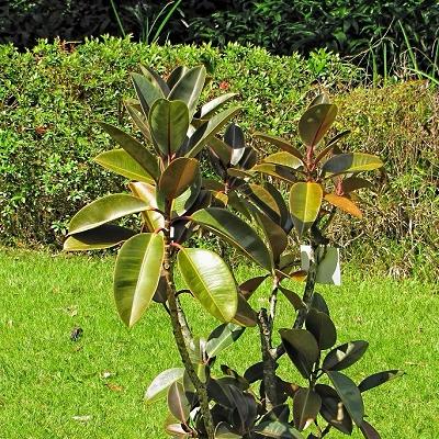 Ficus elastica 'Burgundy'