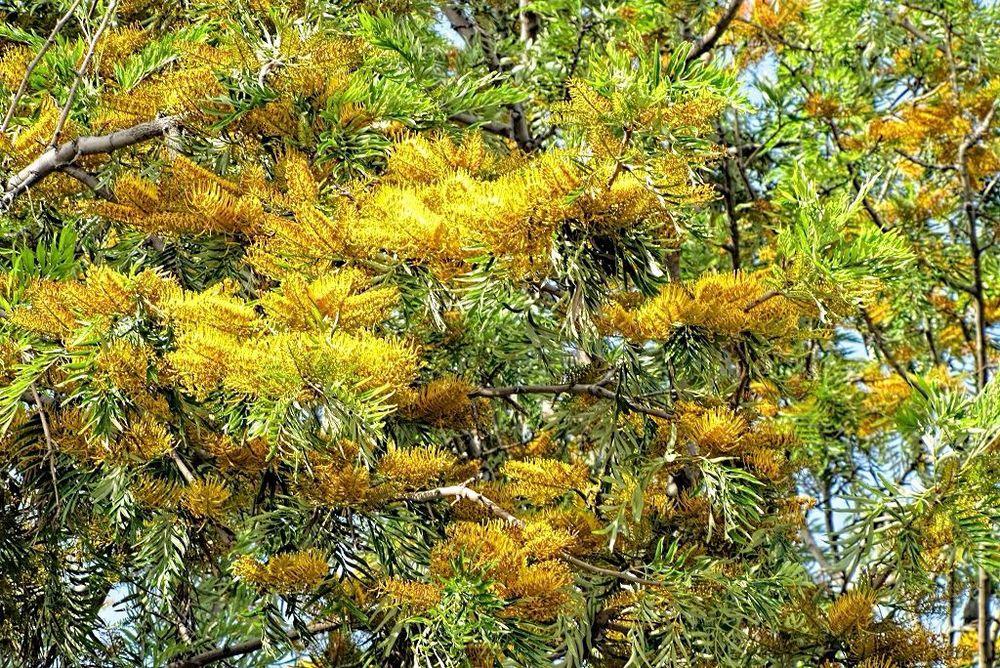 Grevillea robusta-rq-20110514-1v.jpg