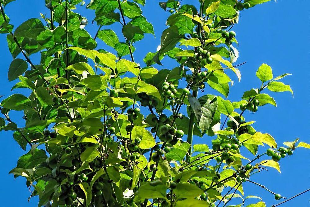 Halleria lucida-rq-20140108-1p.jpg