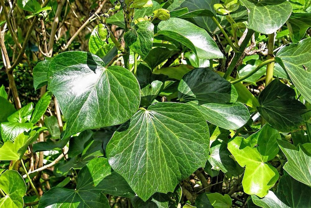 Hedera azorica-rq-20030417-1a.jpg