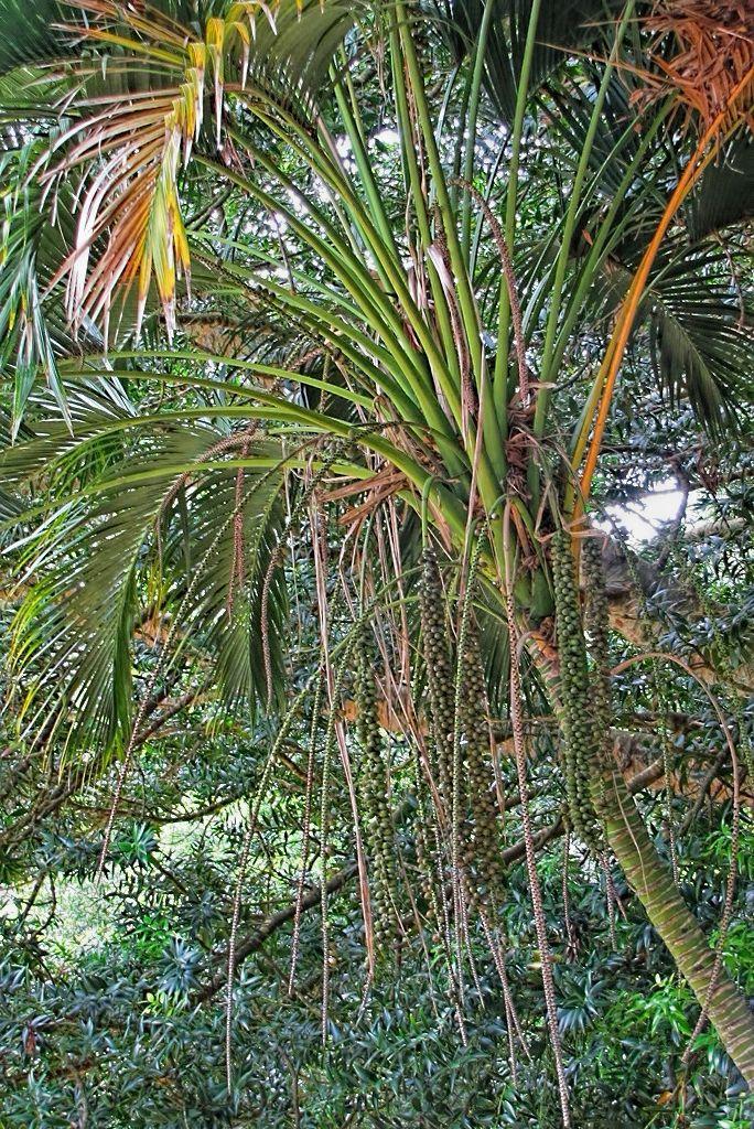 Howea belmoreana-rq-20130915-1b.jpg