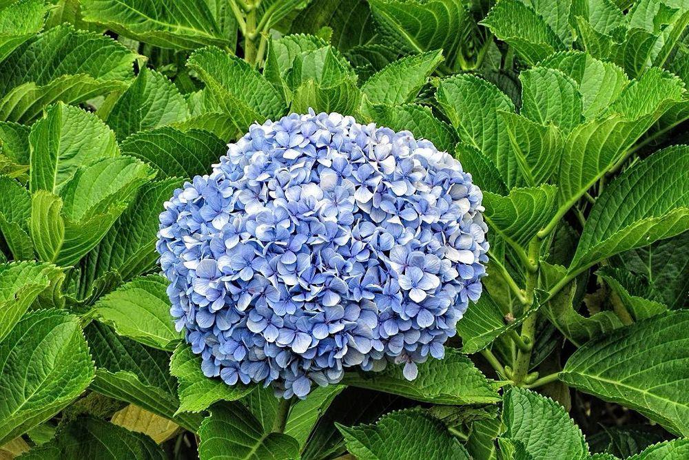 Hydrangea macrophylla-rq-20130915-1l.jpg