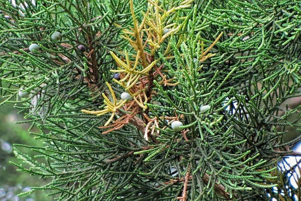 Juniperus virginiana-rq-20130915-2i.jpg