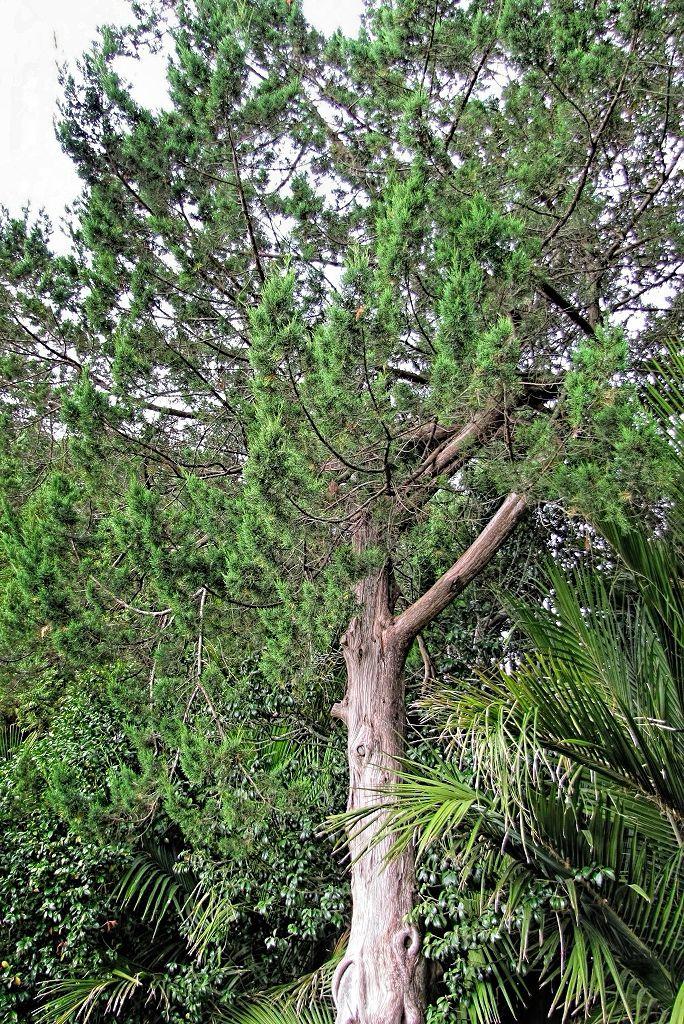 Juniperus virginiana-rq-20130915-2a.jpg