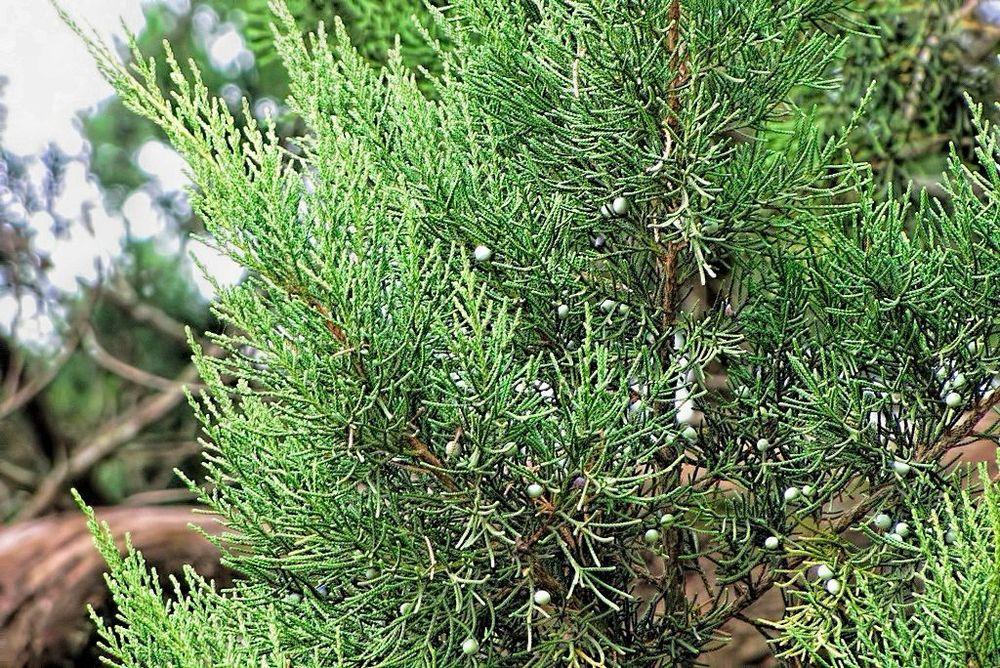 Juniperus virginiana-rq-20130915-2c.jpg