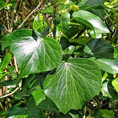 Hedera azorica