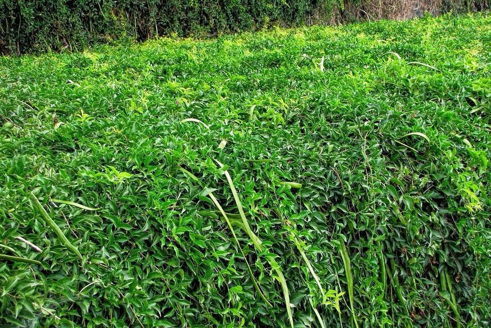 Macfadyena unguis-cati-rq-20130915-1a.jpg