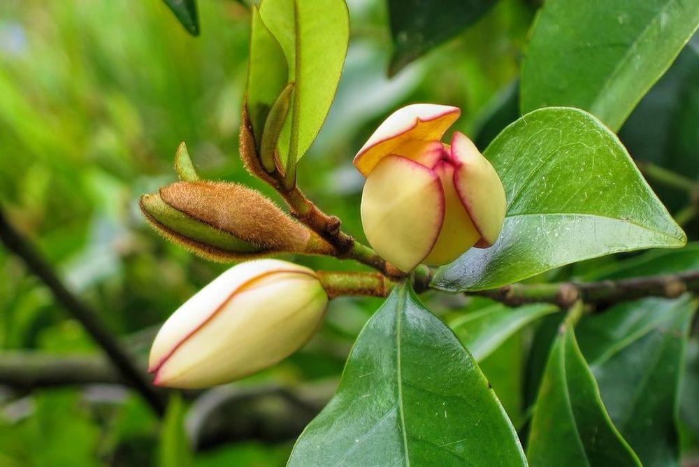 Magnolia figo-rq-20050421-1a.jpg