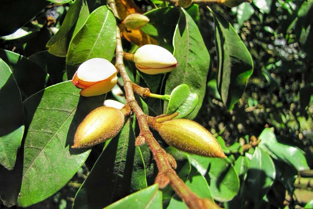 Magnolia figo-rq-20140316-1p.jpg