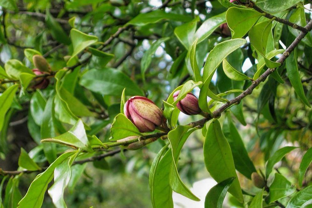 Magnolia figo-rq-20030424-1a.jpg