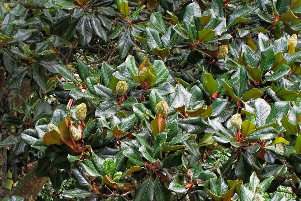 Magnolia grandiflora-rq-20130914-1a.jpg