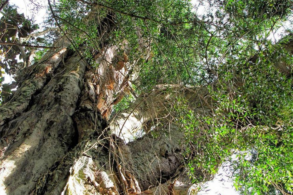 Melaleuca linarifolia-rq-20140113-1i.jpg