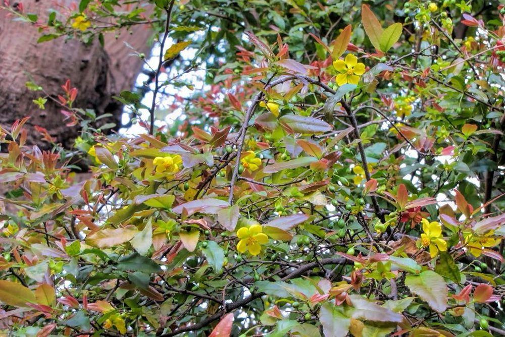 Ochna serrulata-rq-20130218-1a.jpg